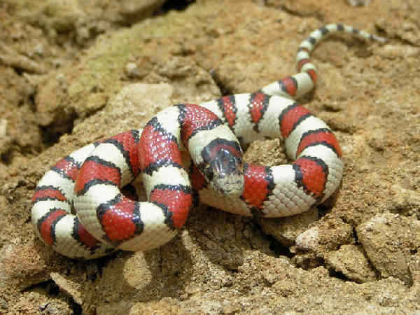 picture of a Milk Snake