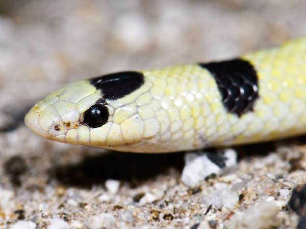 picture of a Mohave Shovel-nosed Snake (Chionactis occipitalis), credit Marshall Hedin, Flickr
