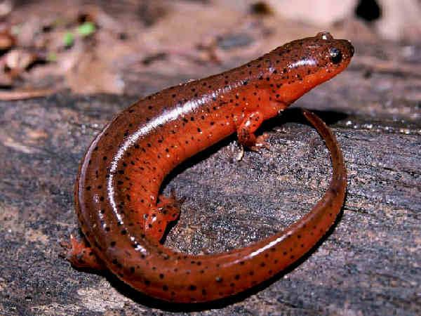 picture of a mud salamander, part of the Florida salamanders series
