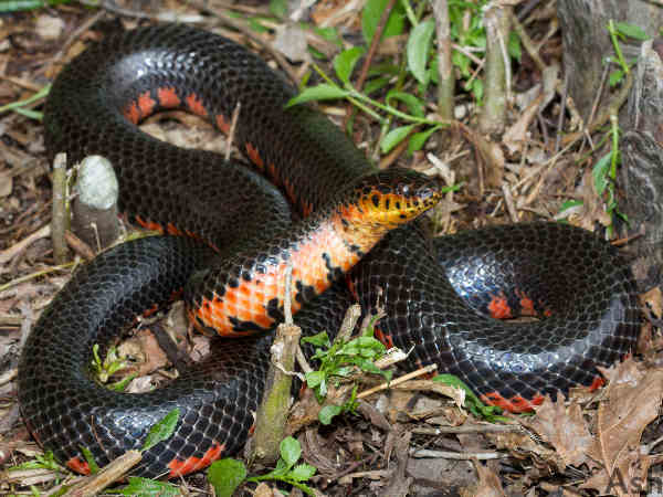 picture of a Mud Snake, credit Ashley Tubbs Flickr