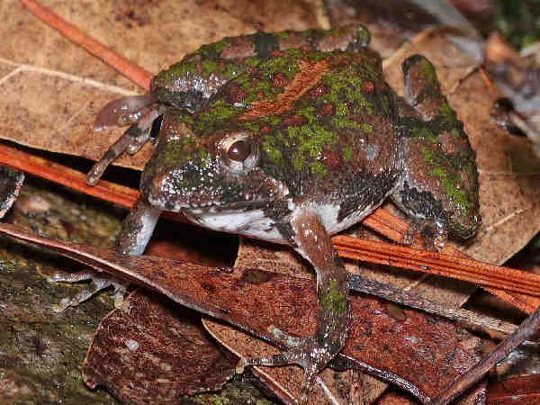 picture of an Eastern Gray Tree Frog