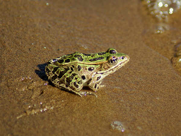 picture of a Northern Leopard Frog