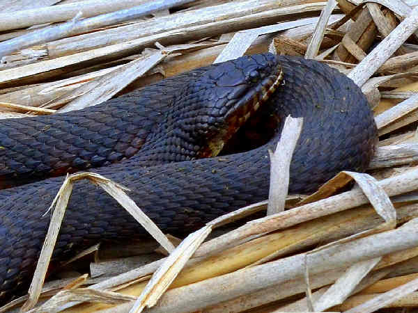 picture of a Northern Watersnake