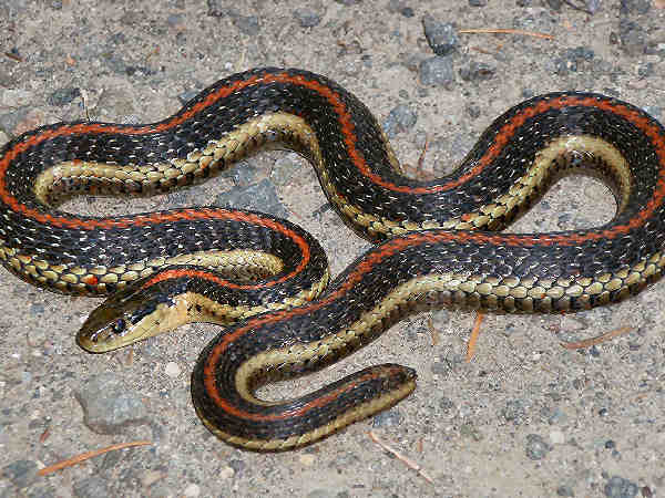 picture of a Northwestern Garter snake