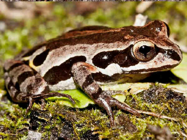 picture of an Ornate Chorus frog treefrog