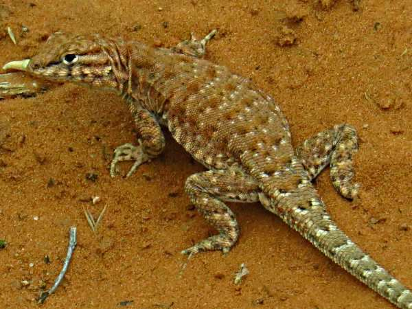 picture of an Ornate Tree Lizard