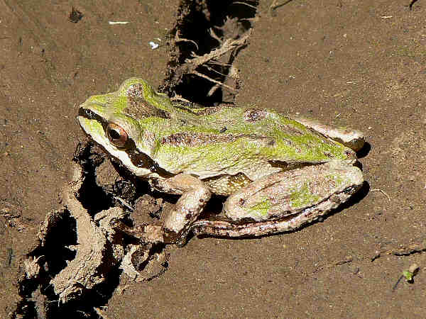 picture of a Pacific Chorus Frog, part of the Alaska herps collection