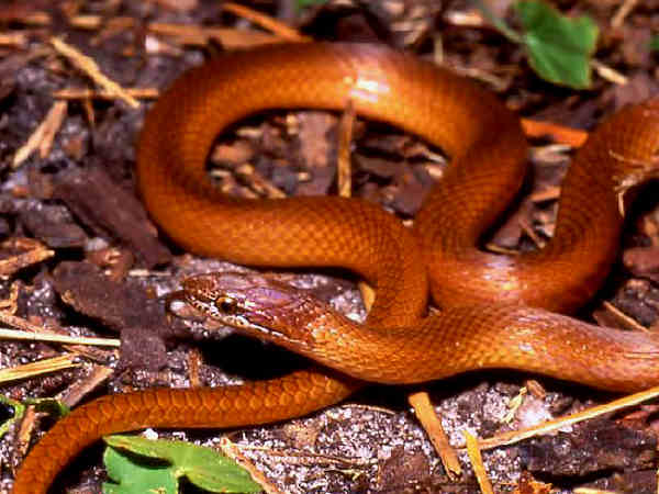 picture of a Pinewood snake