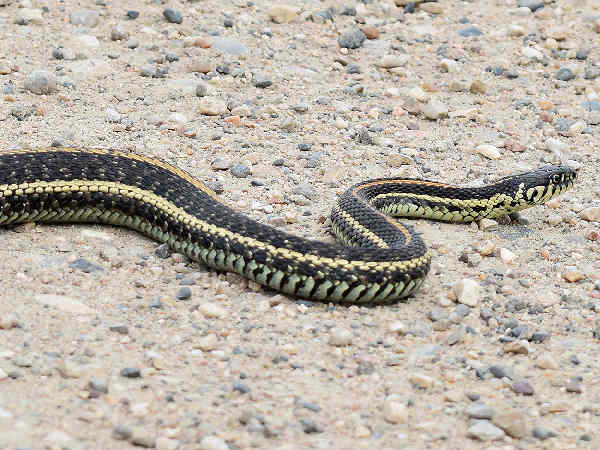 picture of a Plains Garter Snake