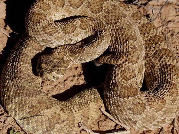 picture of a Prairie Rattlesnake (Crotalus viridis)