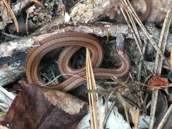 picture of a Red-bellied snake