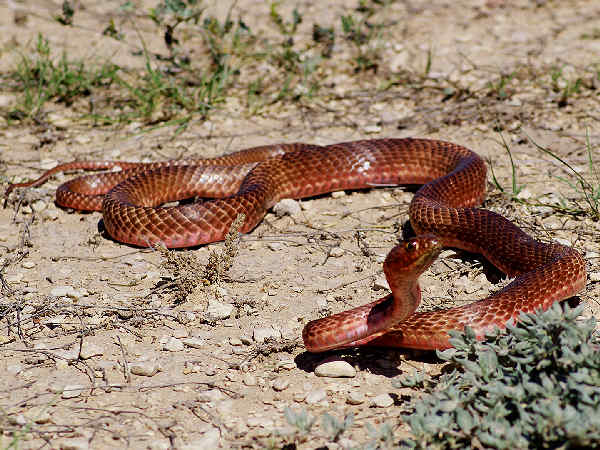 picture of a Red Whipsnake (Masticophis flagellum), credit: Ashley Tubbs, Flickr, part of the coachwhip snakes collection