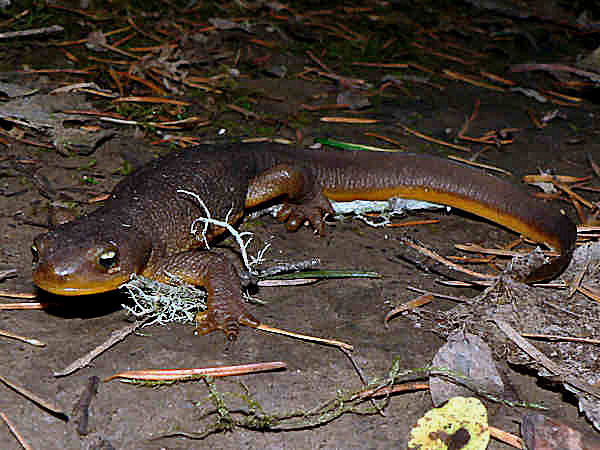 picture of a Rough-skinned Newt, part of the Alaska herps collection