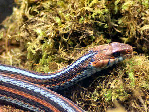 picture of a San Francisco Gartersnake, credit: Brian Gatwicke, Flickr, part of the California snakes section