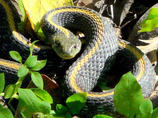picture of a Santa Cruz Gartersnake, credit Dawn Ellner, Flickr