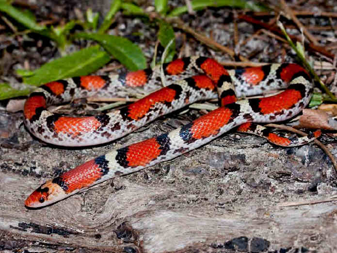 picture of a Scarletsnake (Cemophora coccinea)