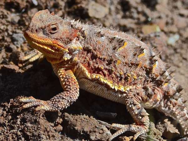 picture of a short horned lizard, in New Mexico, New Mexico animals, credit Larry Lamas, Flickr