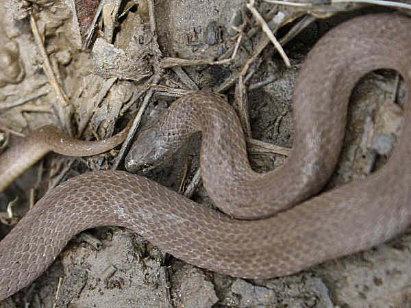 picture of a Smooth Earth Snake, Stephen Horvath, Flickr