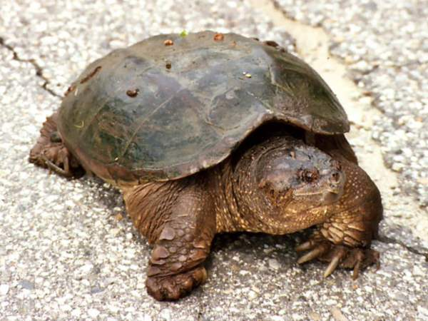 picture of a snapping turtle