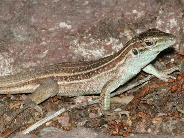 picture of a Sonoran Spotted Whiptail lizard