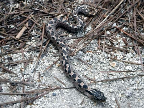 picture of a Southern Hognose snake