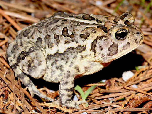 picture of a Southern toad