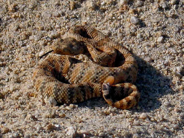 picture of a Speckled Rattlesnake (Crotalus mitchellii)