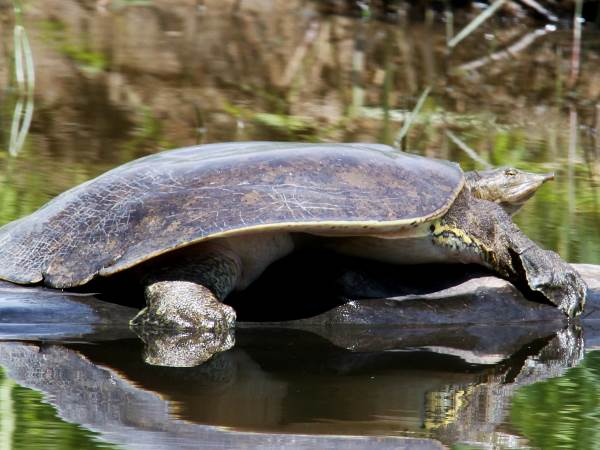 picture of a spiny softshell turtle, Montana turtles series