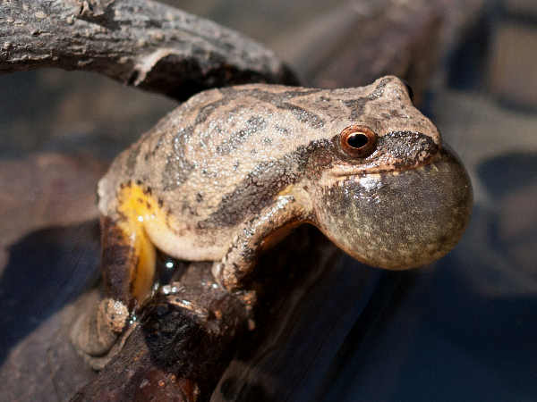 picture of a Spring Peeper treefrog, credit Justin Meissen Flickr, part of the frog identification guide