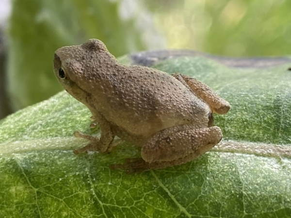 picture of a Northern spring peeper