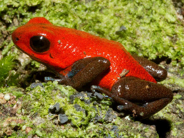 picture of a red Streaberry Poison-dart Frog, part of the tree frogs poisonous series, credit Brian Gratwick, Flickr