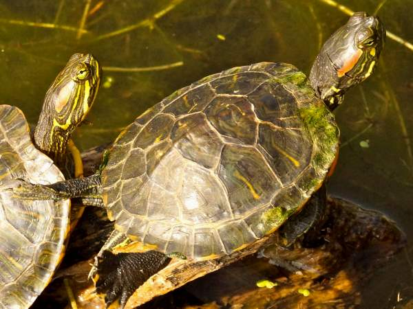 picture of a some red-eared sliders basking in the sun, part of the Montana turtles series
