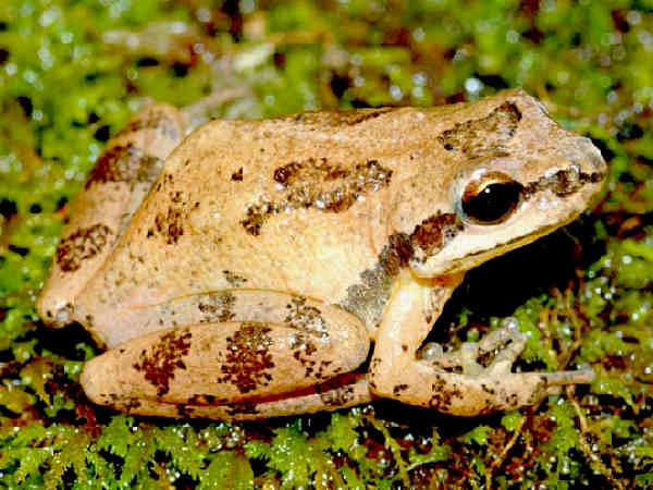 picture of an Upland Chorus frog treefrog