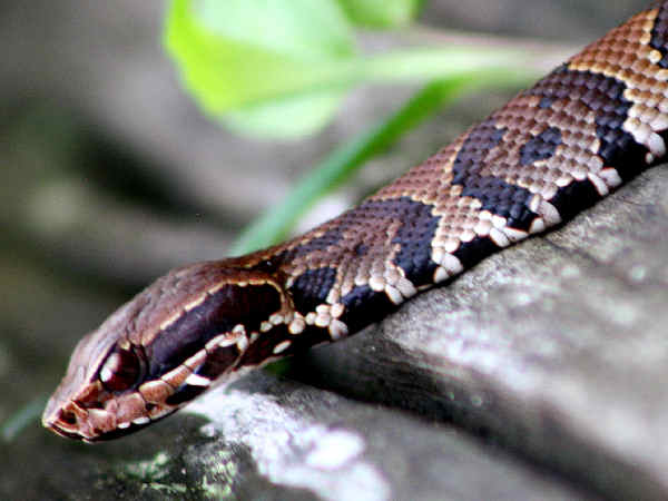 picture of a Water Moccasin, one of the three veomous snakes in Virginia