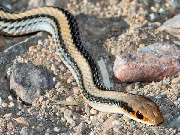 picture of a Western Patch-nosed snake