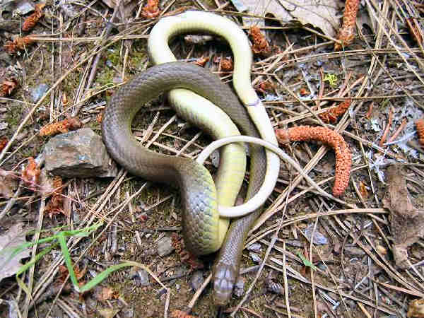 picture of a Western Racer or Yellow-bellied Racer