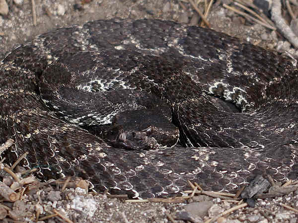 picture of a Western Rattlesnake (Crotalus oreganus)