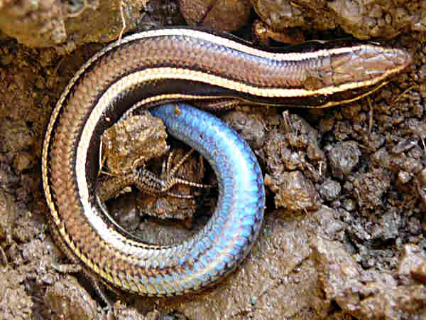 picture of a Western Skink