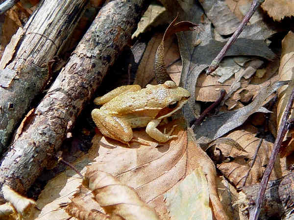 picture of a Wood frog, Credit Judy Gallagher Flickr