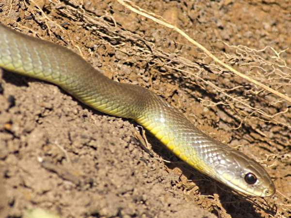 picture of a Yellow-bellied-racer in Utah