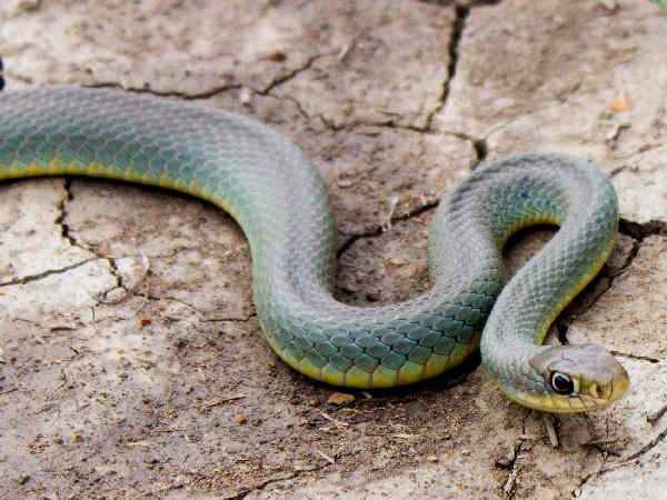 picture of a Yellow-bellied Racer