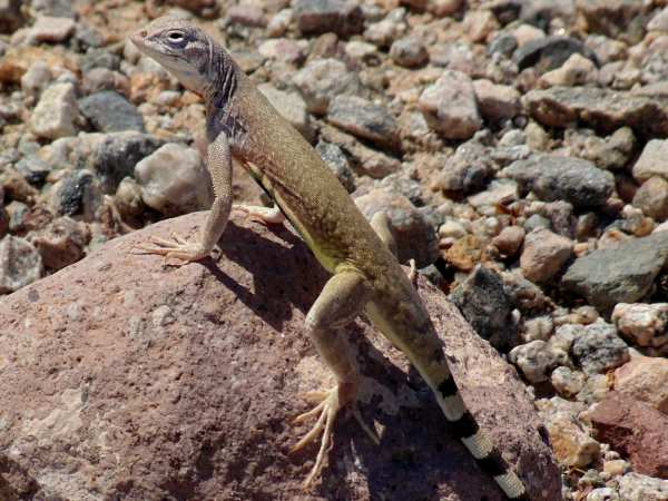 picture of a Zebra Tailed Lizard