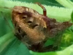 picture of an Arabesque Orbweaver spider with a darker body