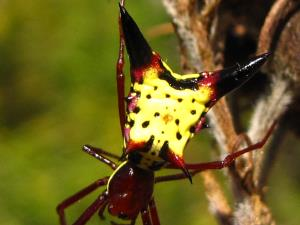 picture of an Arrowshaped Micrathena spider