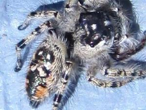 picture of a Canopy Jumping Spider, Phidippus otiosus