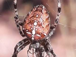 picture of a Cross Orbweaver spider