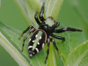 picture of a Golden Jumping Spider, Paraphidippus aurantius