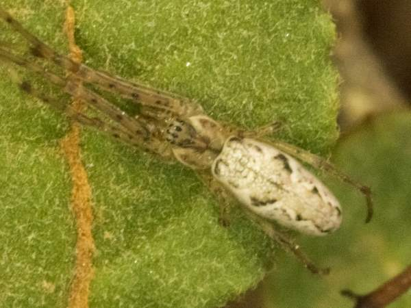 picture of a Long-jawed Orbweaver spider