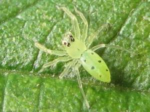 picture of a Jumping Spider, Lyssomanes viridis