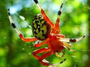 picture of a Marbled Orbweaver spider